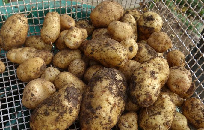 Tag 173:26.10.2017 Geschätzte 50 Kartoffel wurden geerntet